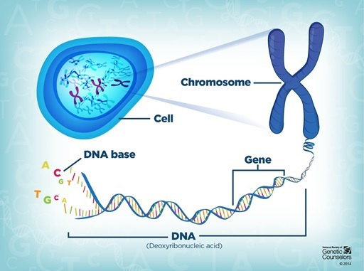A graphic showing the relationship between a cell, DNA, chromosomes and genes. Property of the National Society of Genetic Counsellors